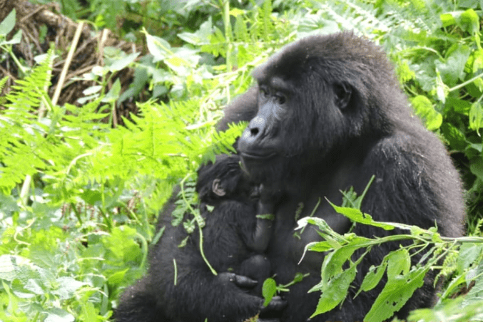 Role of Female Gorillas in a Family